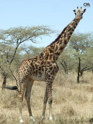 girafă în lake manyara safari, tanzania