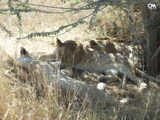 lei odihnindu-se în serengeti, tanzania