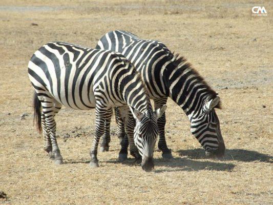 zebre în lake manyara safari, tanzania