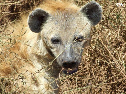 hienă în serengeti, tanzania