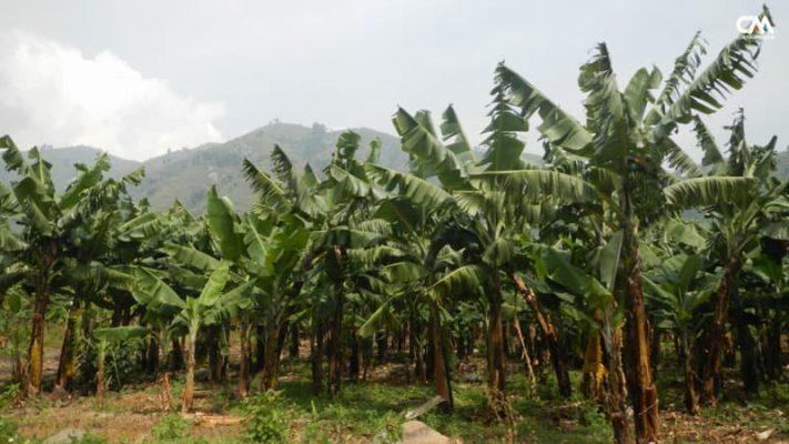 plantatie de banane, uganda, rwenzori mt.