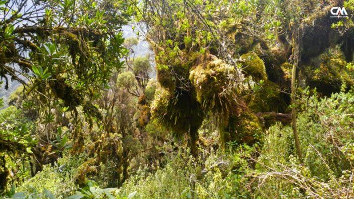 junglă în uganda, rwenzori mt.