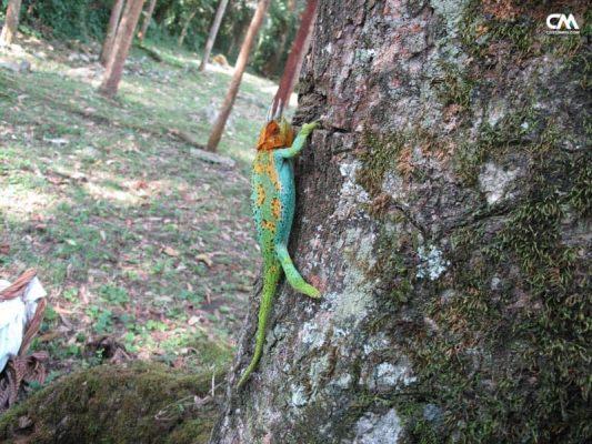 cameleon în safari lake elizabeth, uganda