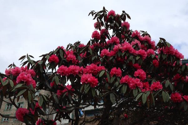 Flori de rhododendron, Everest Base Camp Trekking