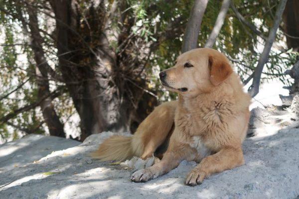 Câine în Annapurna Circuit.